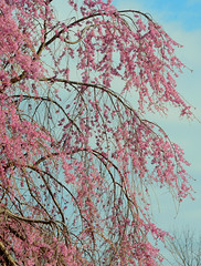 Graceful Branches (hpaich) Tags: pink flower color tree season cherry outside spring flora branch blossom outdoor bloom limb