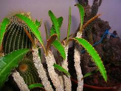 Euphorbia suzannae-marnierae (Hasan Ataç) Tags: suzannae euphobia marnierae
