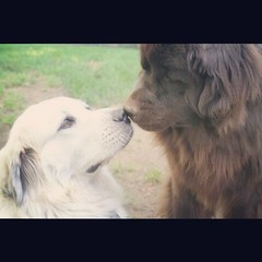 Kisses (AmandaGriz) Tags: dog brown love dogs newfoundland kiss great kisses while pyrenees greatpyrenees