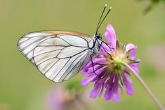 Angel (STE) Tags: white macro del butterfly photography photo foto photographer photos bianca fotografia farfalla stefano fotografo trucco tamron90 biancospino pieride aporia crataegi zush stefanotrucco