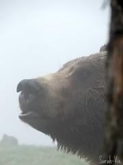 (Sarah-Vie) Tags: bear fog brouillard ours
