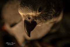 Gray parrot (Mudassir Hassan!) Tags: canon eos african gray parrot 7d
