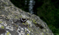 butterfly (DougC84) Tags: butterfly unitedstates wildlife alta wyoming grandtetons jacksonholetrip