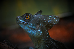 that eye (dapper..creations) Tags: world life blue orange art scale beauty animal animals digital fun photography photo interesting nikon artistic reptile picture hobby lizard photograph enjoy scales learning everyday dslr vignette beginner d5200