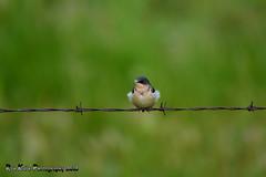 Barn Swallow DSC_3680 (Ron Kube Photography) Tags: canada bird nature birds fauna nikon alberta swallow barnswallow ornithology hirundorustica southernalberta d7100 globalbirdtrekkers ronaldok nikond7100 ronkubephotography