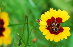 (Carmen Carroquino) Tags: flowers summer nature outdoors bees naturephotography flowercloseups flowerportraits flowerphotography