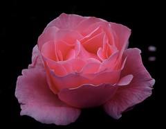 QUEEN ELIZABETH GRANDIFLORA ROSE (Joan-Marie E) Tags: raw 6133 canong10 bestofshining queenelizabethgrandiflorarose