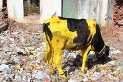 Mysore, painted cow (Arian Zwegers) Tags: india cow karnataka mysore sankranti holycow paintedcow 2013 yellowcow