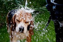Beagle Bathtime (flemingcool) Tags: dog beagle water shower bath fuji hound clean splash bathtime 14mm fujixe1 fuji14mm