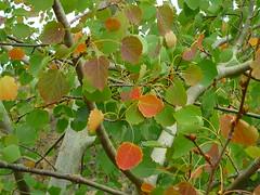 Zitterpappel-Herbst (Jrg Paul Kaspari) Tags: autumn leaves leaf herbst hike eifel blatt bltter wandern wanderung populus herbstfarben tremula vulkaneifel populustremula herbstfrbung zitterp