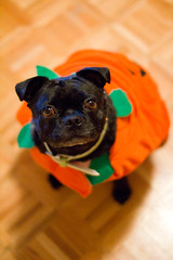 Maybelline (Save-A-Pet Adoption Center) Tags: dog holiday black beagle halloween female bug pug adopted maybelline 2013