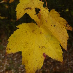 Red Maple thumbnail