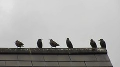 Windy starlings (Darling Starlings Flying the Nest) Tags: birds rooftops feathers windy starlings ruffled blowy