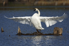 Swan 747 (maryanne.pfitz) Tags: lake bird nature water wisconsin swan wings wildlife ngc waterfowl flapping stretching trumpeterswan woodcounty wisconsinrapids fallmigration avianexcellence maryannepfitzinger map21317