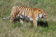Jukani Wildlife Sanctuary (OurPhotoWork) Tags: travel southafrica wildlife sanctuary wildlifesanctuary plettenbergbay travelplanet jukani flickrbigcats ourphotowork sa2013