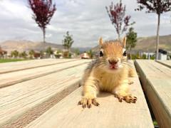 Squirrel (kezwan) Tags: squirrel ekorre kurdistan kezwan sivore kurdistananimal