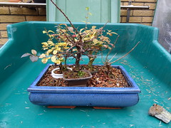 DSC06541 (jeremy_norbury) Tags: winter december beds bonsai growing patch 2013