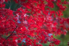 IMG_5356 (Thomo13) Tags: autumn trees red colour fall leaves japan canon eos gold kyoto mark ii 5d momoji