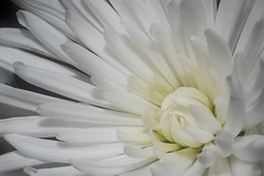Chrysanthemum (Paul Sibley) Tags: flower photoaday 12365 nikond60 3652014