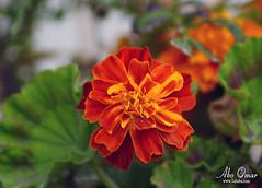 وردة ريحان (ابو عمر العمري) Tags: منظر ورده ريحان زهور النماص حلباء