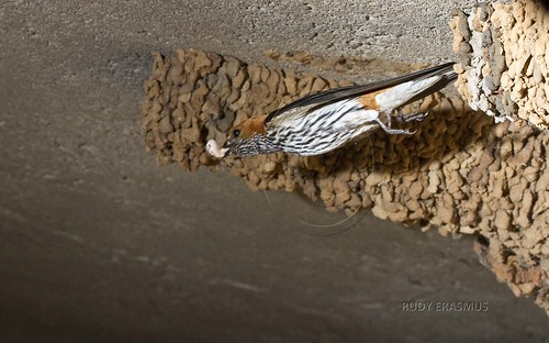 Lesser Striped  Swallow , leaving  nest  with faecal sack_0132