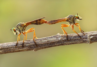 Robberfly Mating