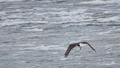 Not Going Hungry Today (Chad Horwedel) Tags: bird fly illinois flight fulton soar birdofprey americanbaldeagle lockdamn13