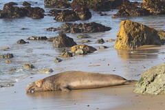 IMG_5229 Elephant Seal (ThorsHammer94539) Tags: elephant seals blancas piedras