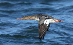 Red-breasted Merganser [red-head]