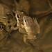 Cajun Chorus Frogs (Pseudacrus fouquettei)