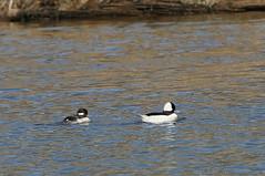 14__03_15 1349b Bufflehead ducks (Lee Longwater) Tags: lake water river lens outdoors duck nikon stream fowl bufflehead d5000 70300vr 1349b