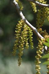 Juglans californica (Weeding Wild Suburbia) Tags: park gardens publicgardens spnp