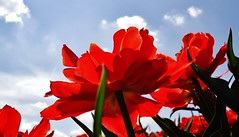 Doorschijnend (wilma HW61) Tags: flowers panorama holland macro primavera fleur spring sony flor nederland tulip holanda noordoostpolder lente paysbas printemps bloemen flevoland tulipa tegenlicht tulpen tulpe voorjaar tulpenveld ultimateshot wilmahw61 wilmawesterhoud