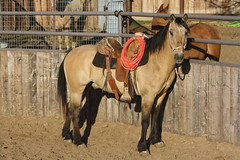Rounder  (5) (tanyerhide) Tags: horses buckskin vaquero gelding wwwcowboy4salecom