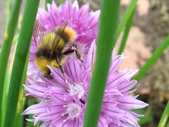 Early Bumblebee (Bombus Pratorum) making use of the chives at home.