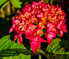 Hortensien - Hydrangea (Kat-i) Tags: flowers red macro rot blossoms blumen hydrangea kati makro garten katharina blüten 2015 hortensien hydrangeaceae zierstrauch ornamentalshrub nikon1v1