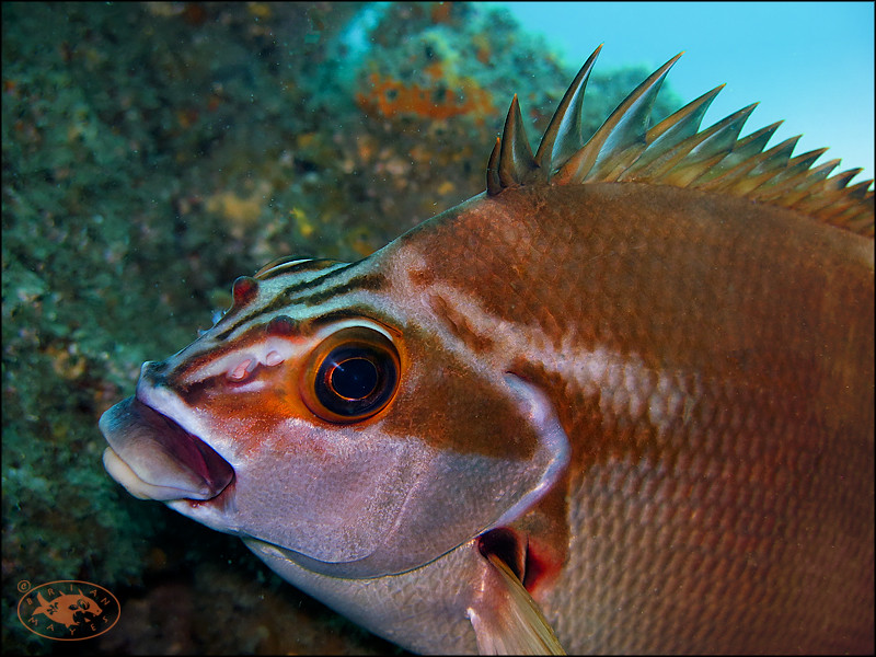 The World's Best Photos of australia and morwong - Flickr