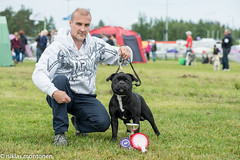 Oulu International Dogshow - Saturday (aixcracker) Tags: summer dog suomi finland july hund juli oulu staffie bullterrier staffordshire staffy sommar kesä koira heinäkuu staffi uleåborg nikond800