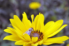 Mitte August 2015 im Rheinland (borntobewild1946) Tags: nrw blte insekt nordrheinwestfalen rheinland biene kleingarten wespe blhen schrebergarten kleingartenanlage fluginsekt nektarsammler copyrightbyberndloosborntobewild1946