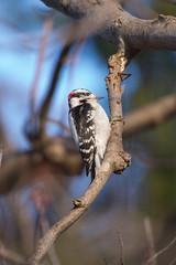Wood Pecker (blergh.) Tags: bird wildlife nature outdoors nikon d600 200500mm