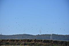 Vol d'ocells (esta_ahi) Tags: torrellesdefoix estol ocells pájaros aves fauna bandada penedès barcelona spain españa испания