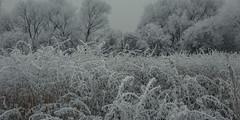 frozen nature 7021 (s.alt) Tags: nature natureunveiled frost winter ice rauhreif cold kalt morgen eiskristall kristallförmig vereist niederschlag hoarfrost whitefrost rime frostyrime frozen detail icecrystal frozennature macro blatt frosted