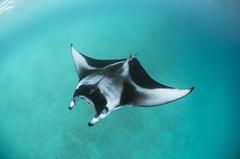 mint (Seeneen.Photography) Tags: dsc6481 unesco biosphere reserve maldives manta season hanifarubay hanifaru baa atoll mantarays avelyamaldives liquidsaltdivers royal island resort spa