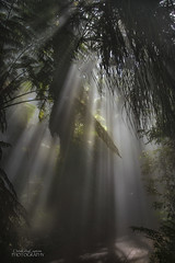 Crepuscular rays in a tropical conservatory (ChrisKirbyCapturePhotography) Tags: crepuscular rays tropical conservatory adelaidebotanicgarden foliage misting mist