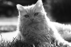 Benny (crazyevan v. 2.0) Tags: kitty portrait animal pentax k7 helios 442 bokeh backlit