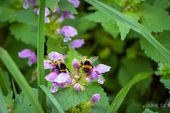 Primavera (Jaime GF) Tags: instagramapp uploaded:by=instagram bee flower spring abeja abejas flores primavera gozón asturias spain nikon d40