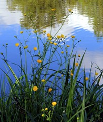 (Linda6769 (hiking)) Tags: germany pond village buttercup thuringia brden