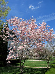 IMG_2121 (quirkyjazz) Tags: trees clouds spring lookingup magnolias blueskky