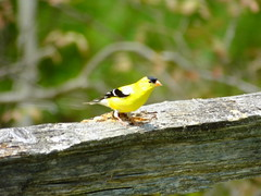 American Goldfinch (RonG58) Tags: pictures new trip travel light usa color bird film nature birds fauna forest geotagged photography us photo spring woods flora raw day image photos live wildlife goldfinch wayne birding maine picture images photograph digitalcamera migration tori exploration habitat mori americangoldfinch carduelistristis photooftheday picoftheday waynemaine birdwalk passerines loiseau fugifilm lafort natureexploration elpjaro easterngoldfinch dervogel rong58 finepixhs50exr
