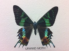 Uranid Moth (Inkysloth) Tags: museum butterfly lepidoptera horniman